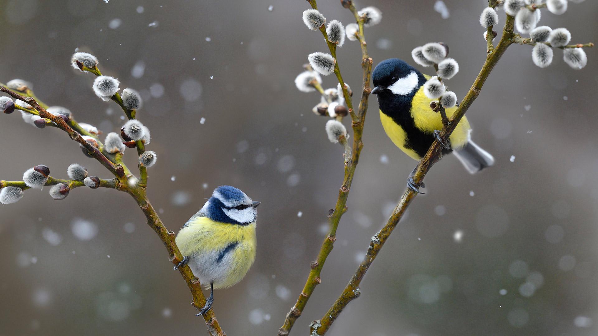 雪中的蓝山雀和大山雀蓝山雀