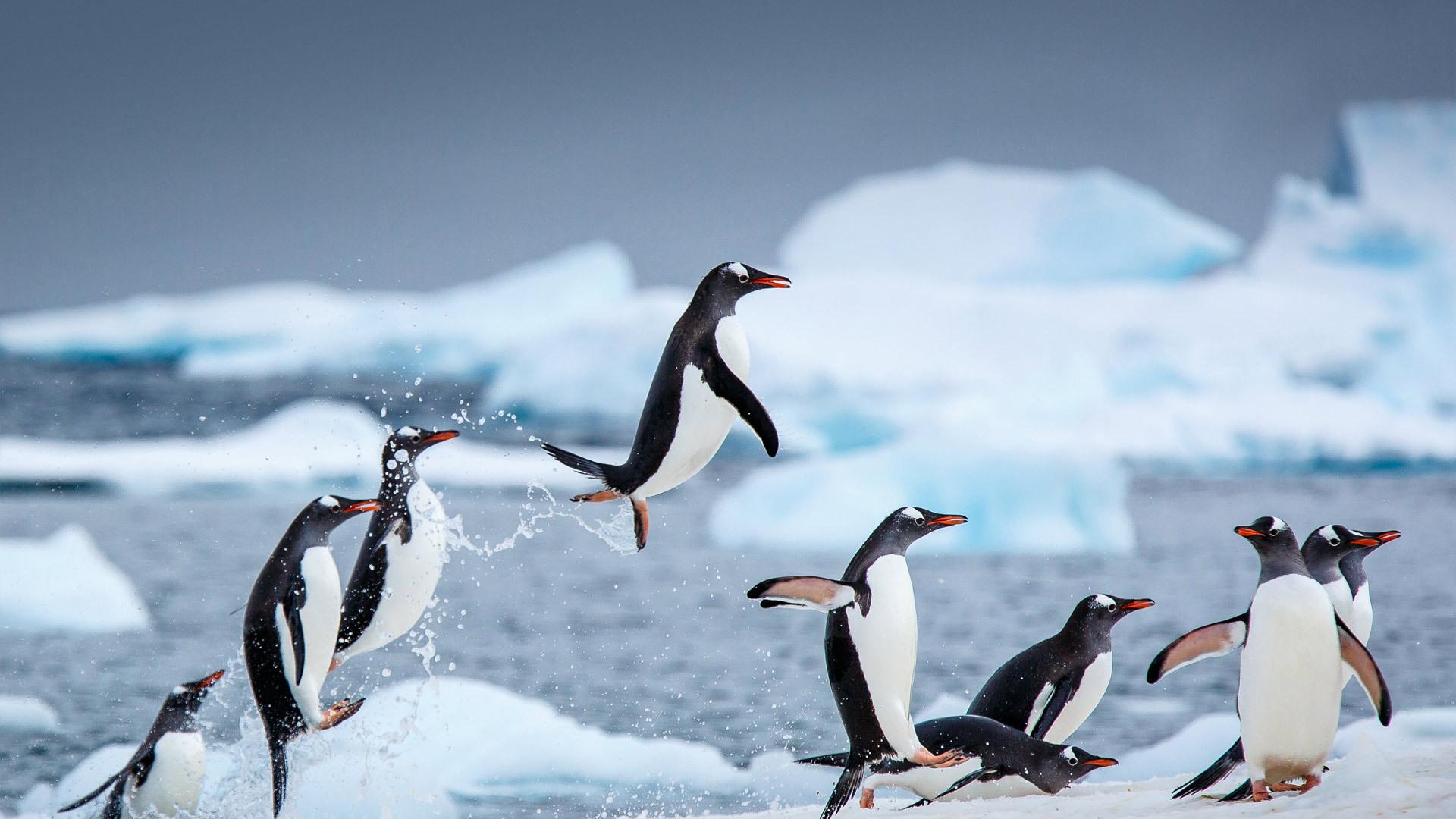 南极丹科岛附近的巴布亚企鹅 巴布亚企鹅