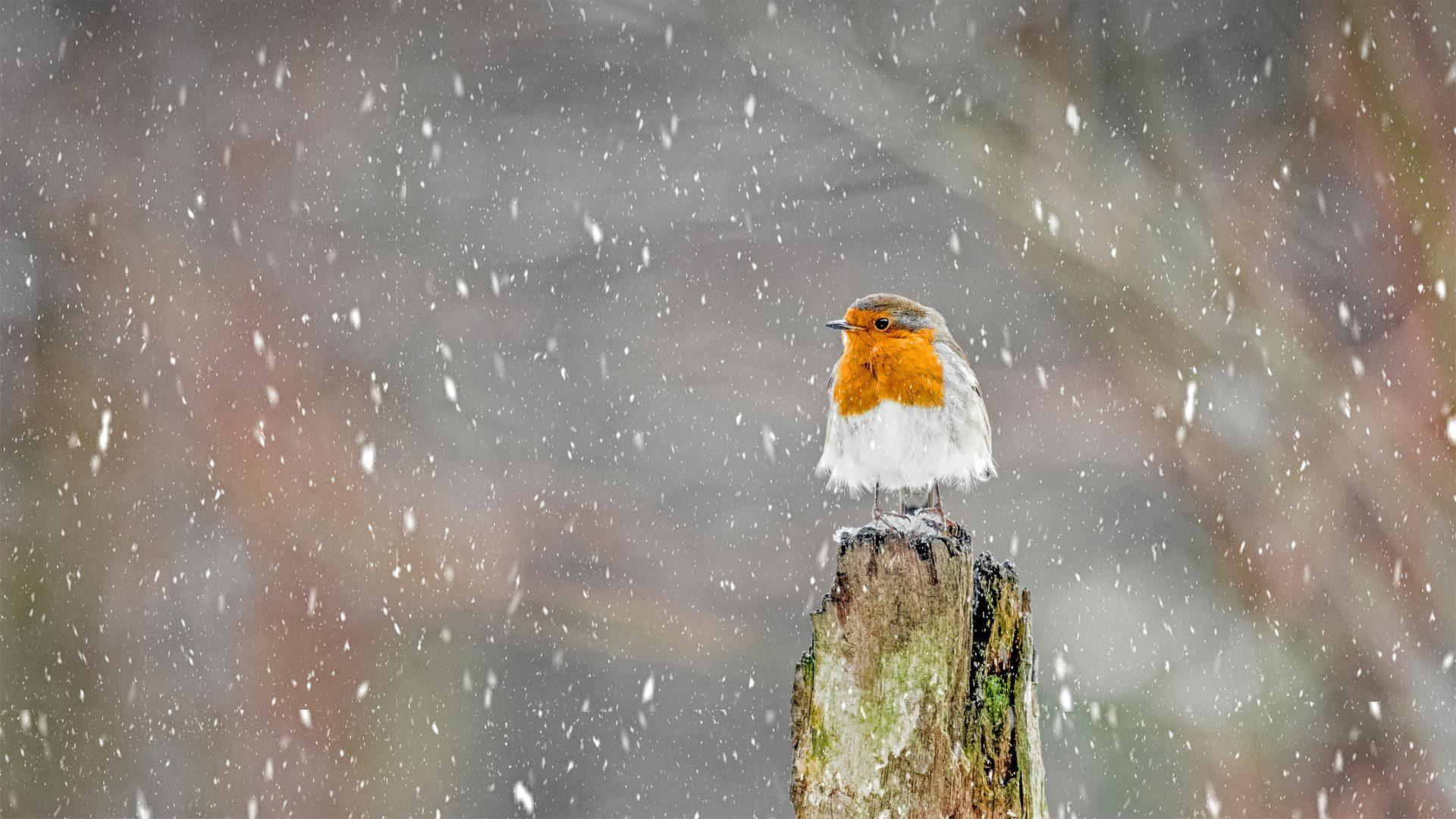 冬季暴风雪中的欧亚鸲欧亚鸲