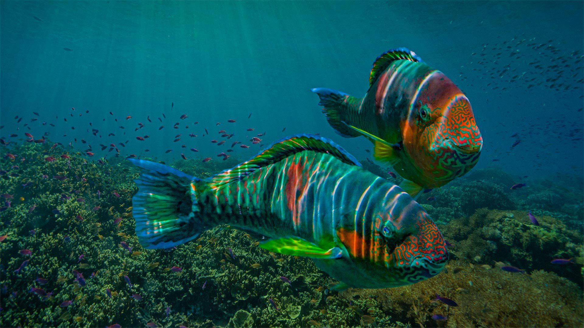 东内格罗斯省沿海的鹦嘴鱼鹦嘴鱼