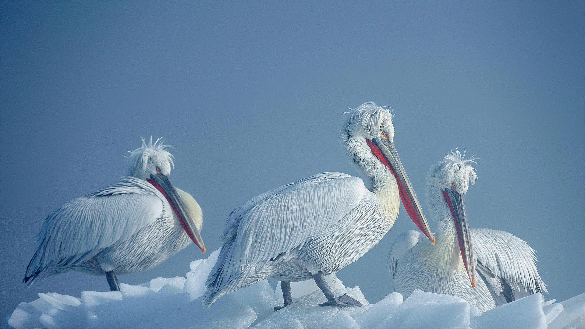 冰上的卷羽鹈鹕卷羽鹈鹕