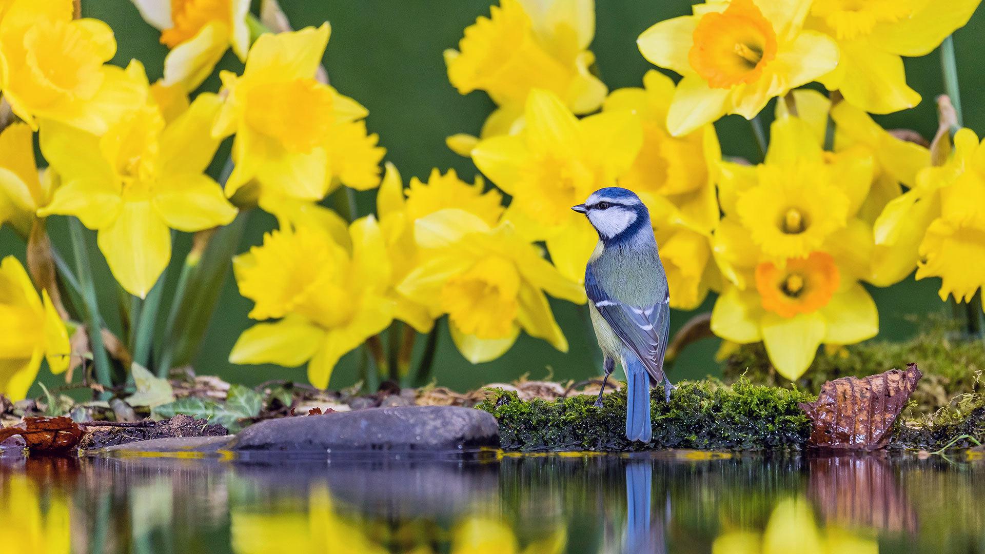 威尔士中部水仙花中的蓝山雀 蓝山雀