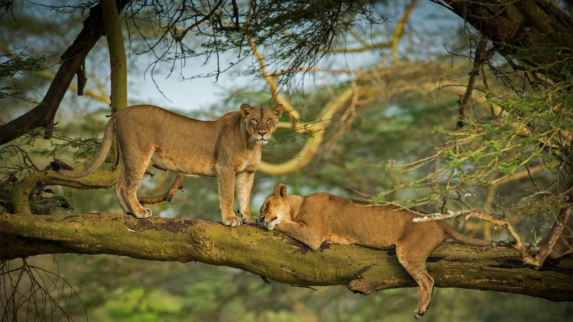 纳库鲁湖周围森林中的两只母狮子狮子