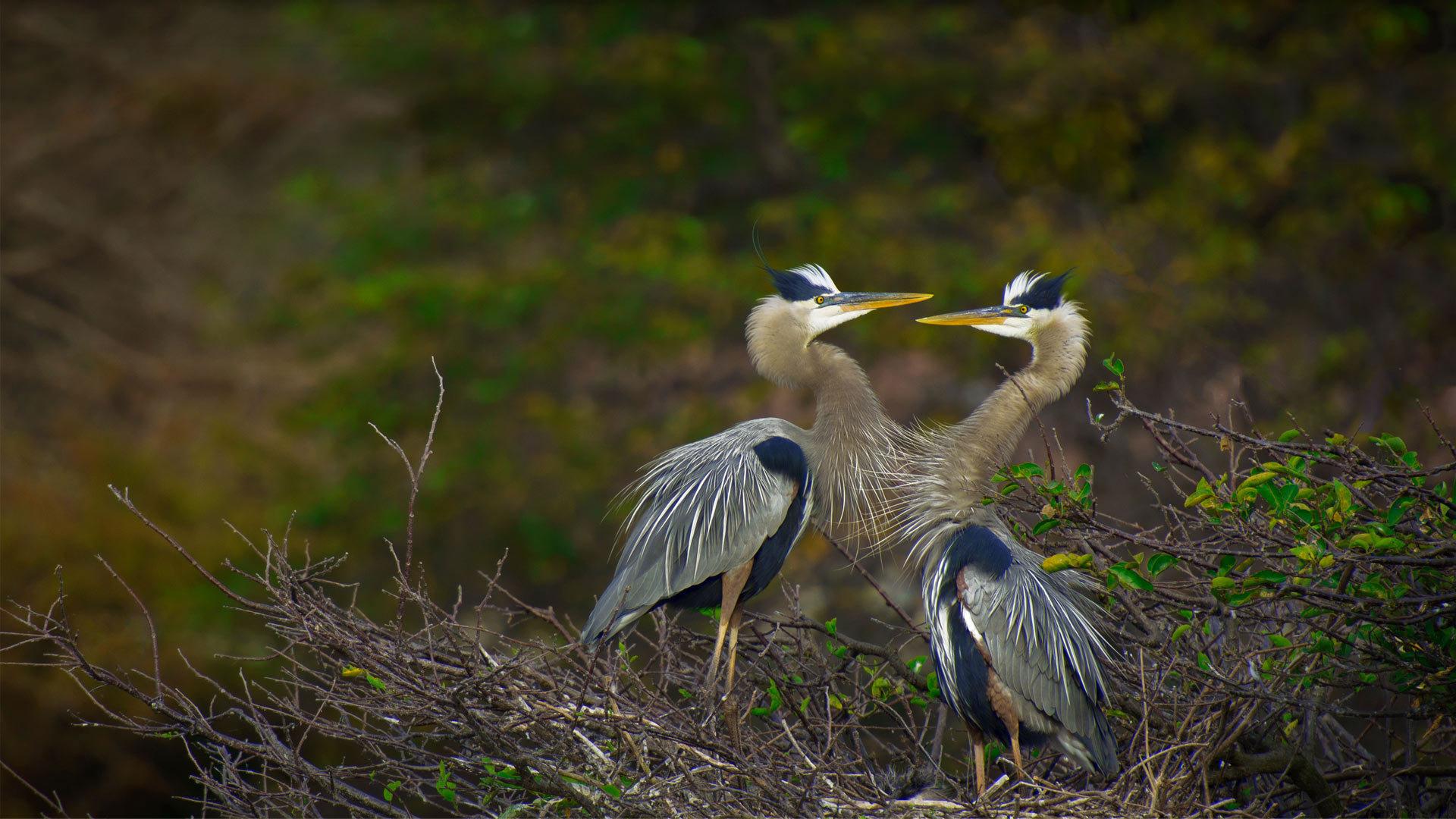德拉海滩Wakodahatchee湿地的大蓝鹭大蓝鹭
