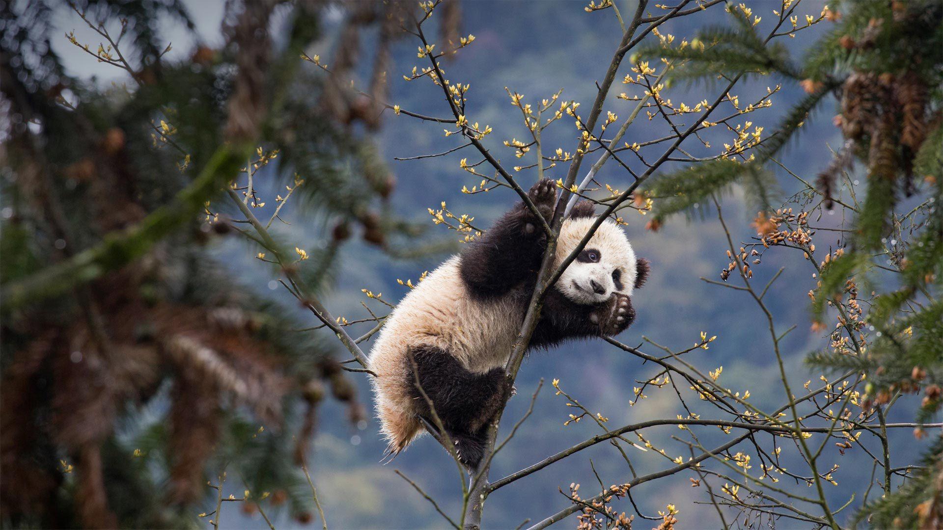 碧峰峡熊猫基地的大熊猫宝宝大熊猫宝宝