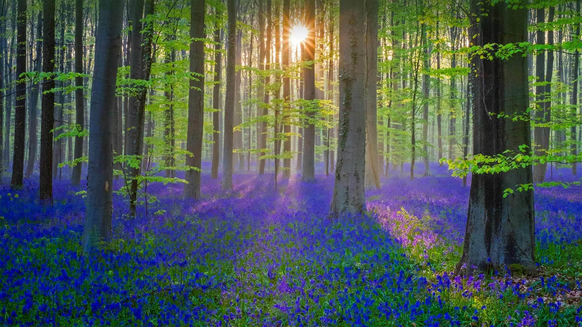 覆盖了Hallerbos森林地面的蓝铃花蓝铃花