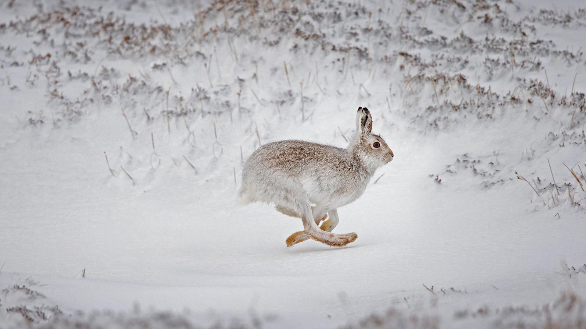 在白雪覆盖的高地上奔跑的雪兔雪兔