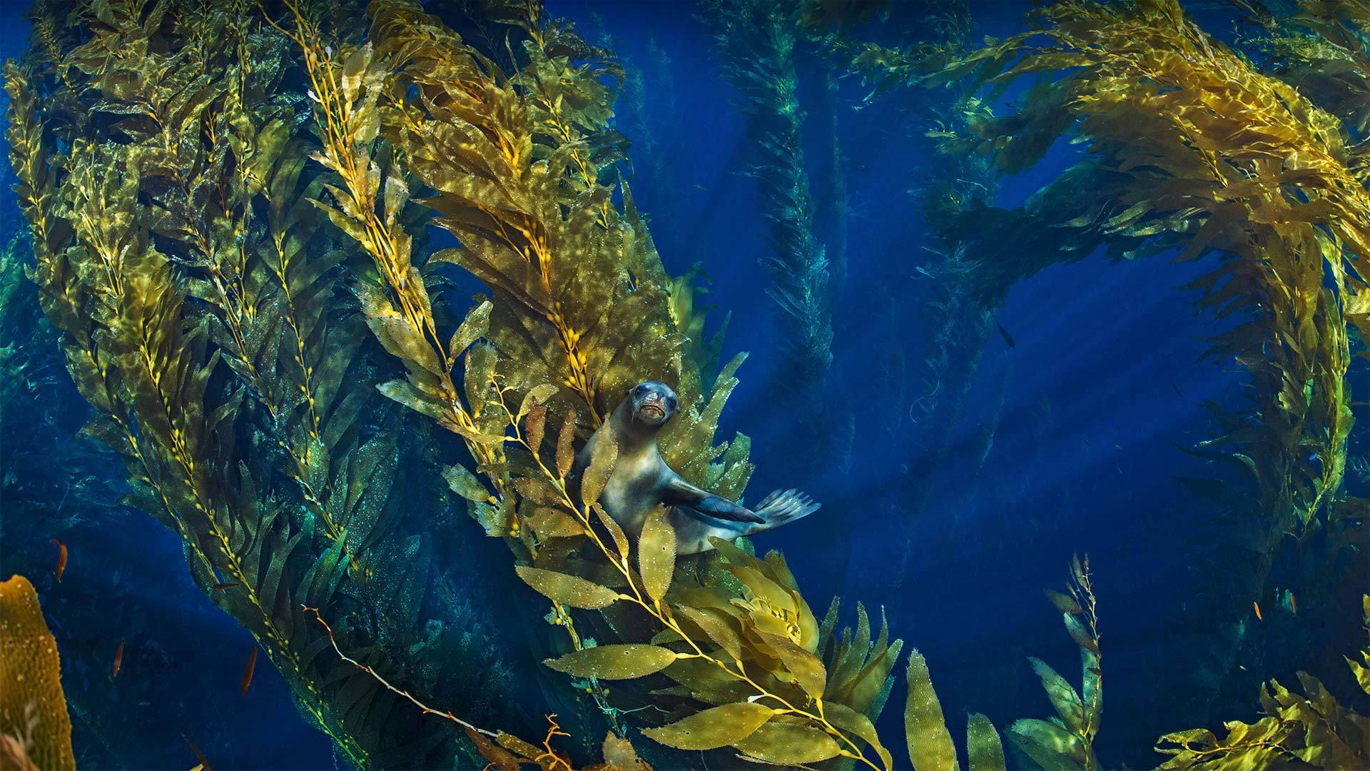 海峡群岛附近巨藻林中的加利福尼亚海狮 加利福尼亚海狮