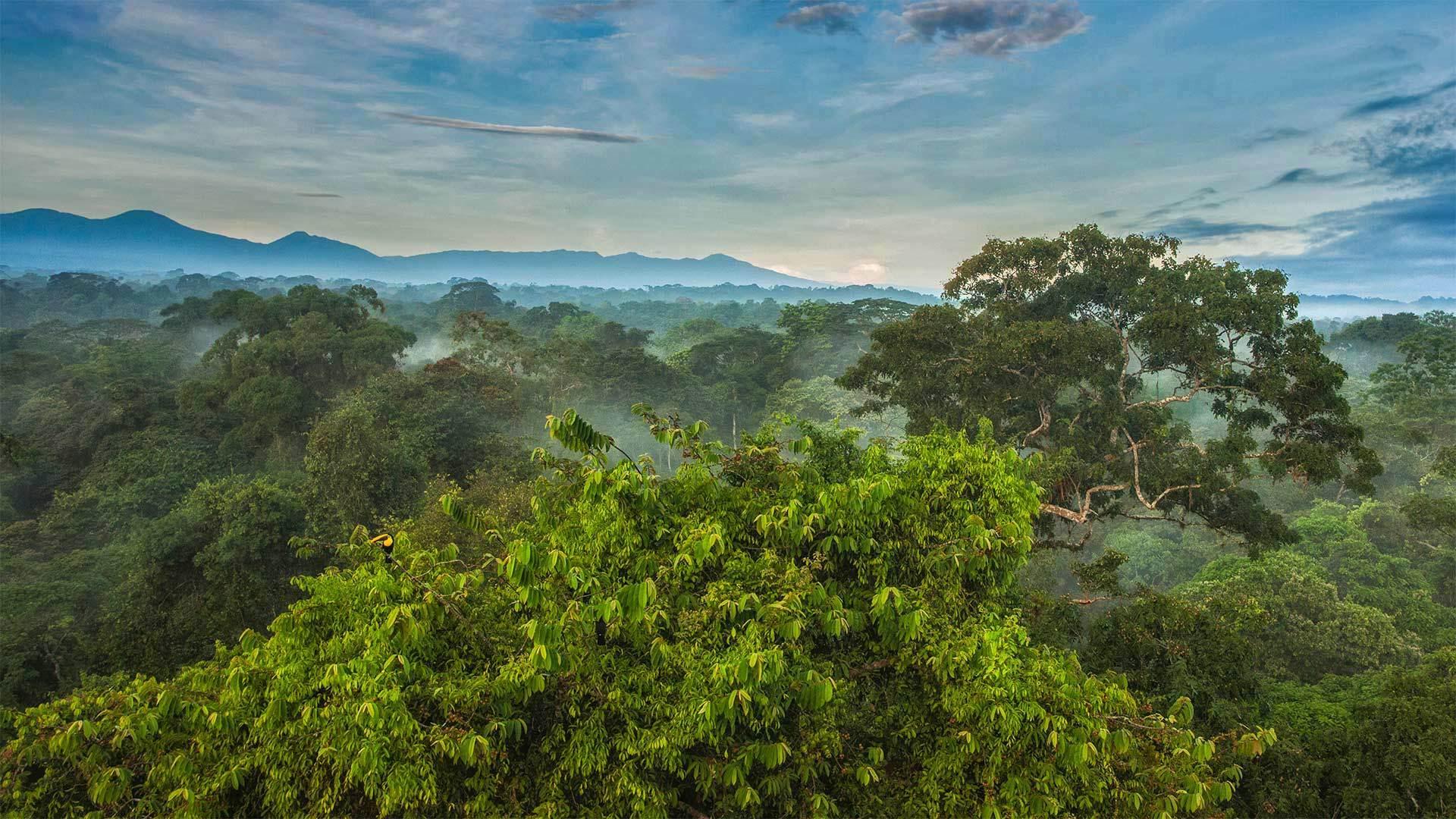 La Selva生物站热带雨林canopy(树冠)上的黑嘴巨嘴鸟canopy