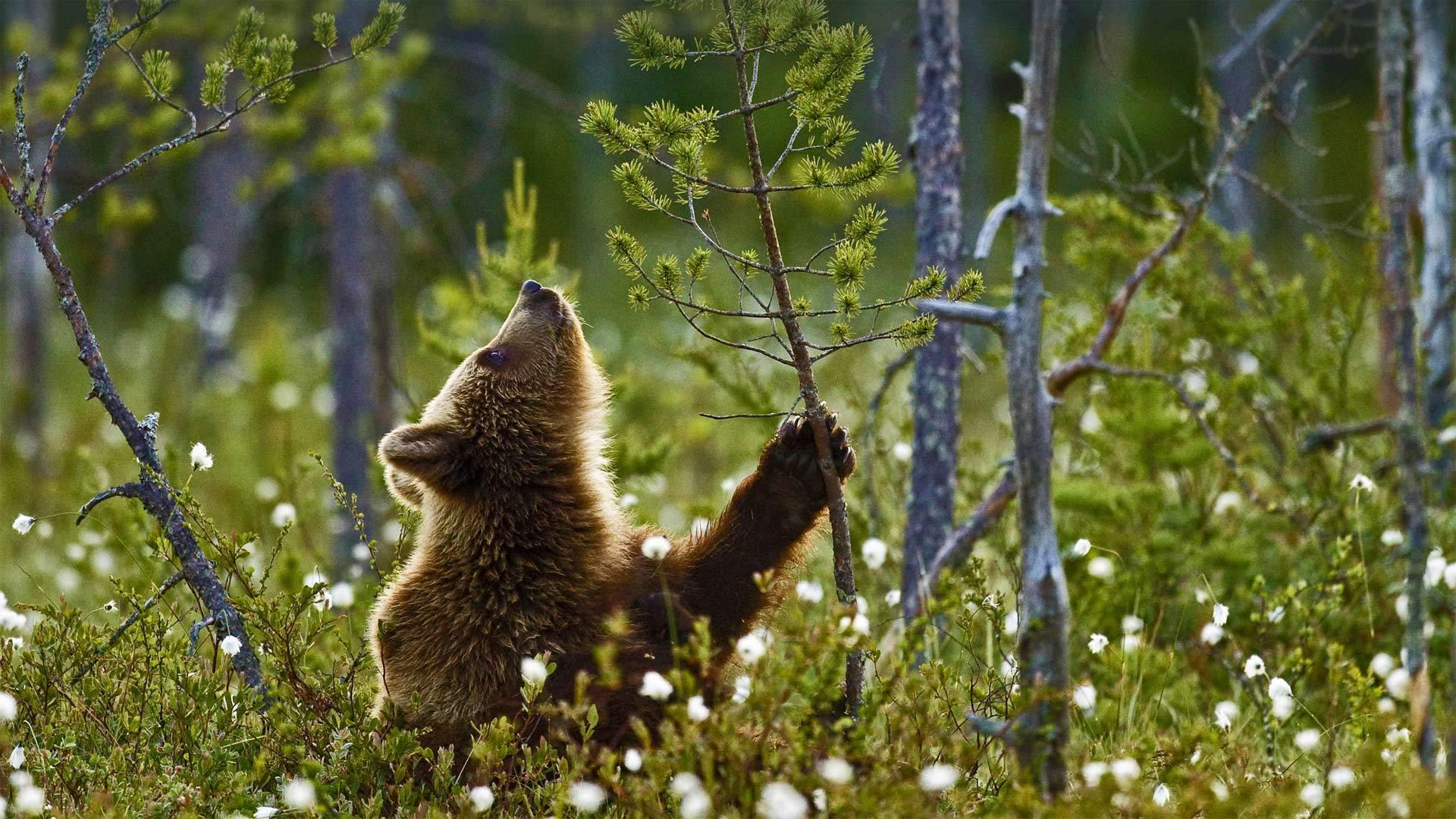 北方针叶林中的欧洲棕熊幼崽棕熊