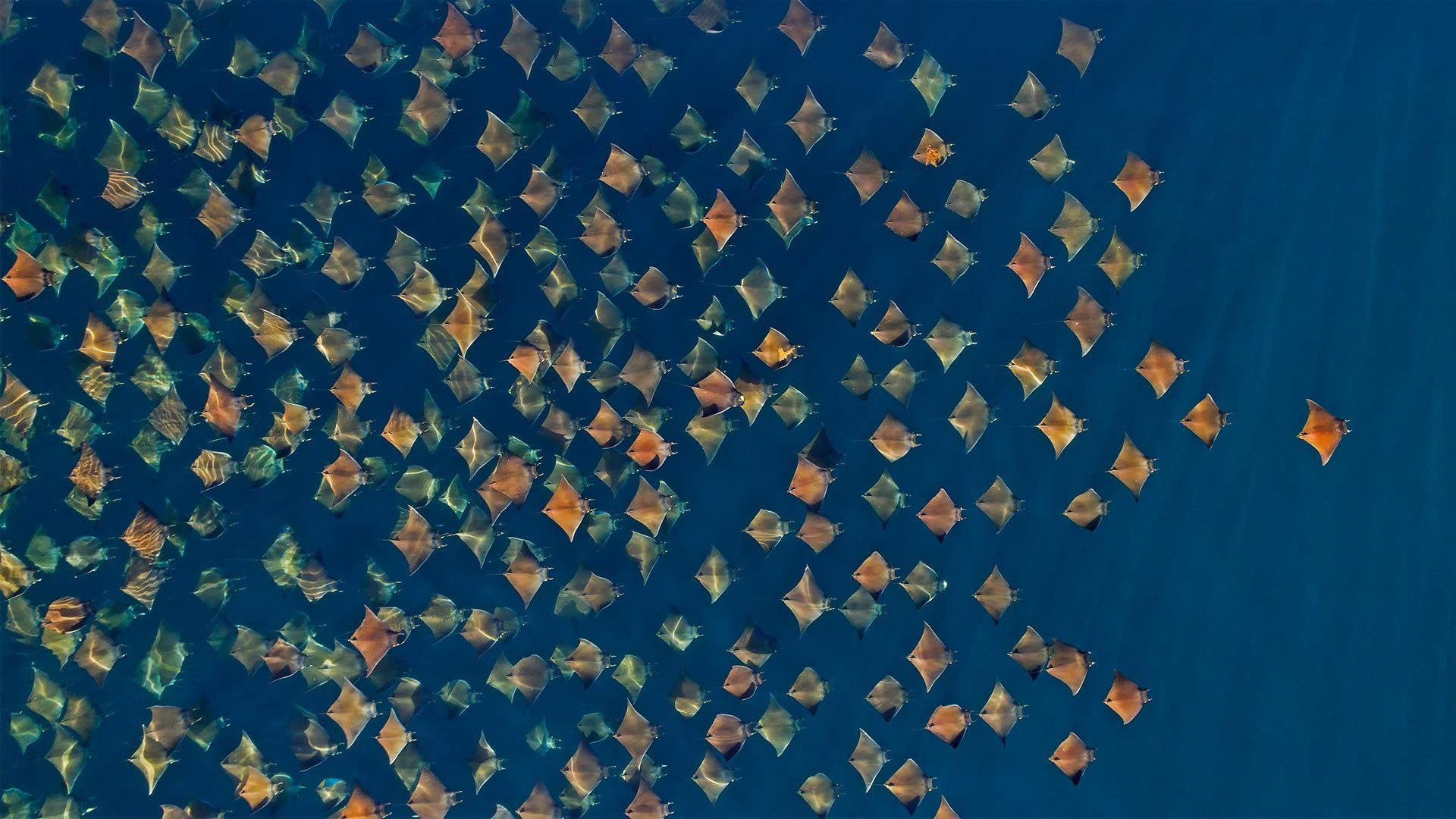 大群的芒基蝠鲼跃出水面蝠鲼