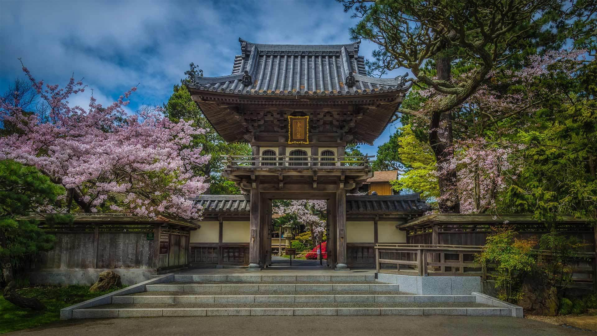 金门公园中日本茶园里盛开的樱花金门公园