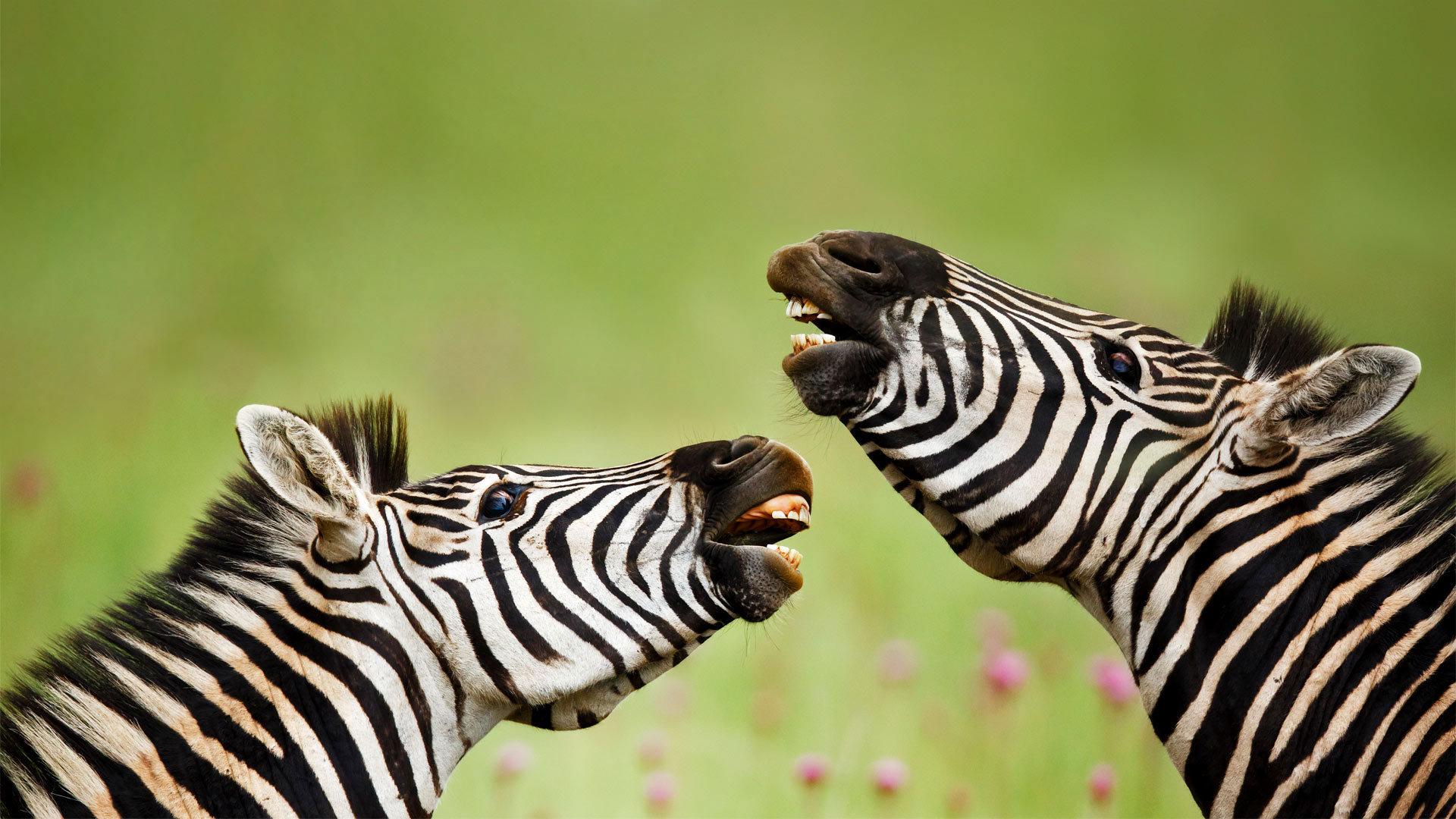 Rietvlei自然保护区内的雄性布氏斑马布氏斑马
