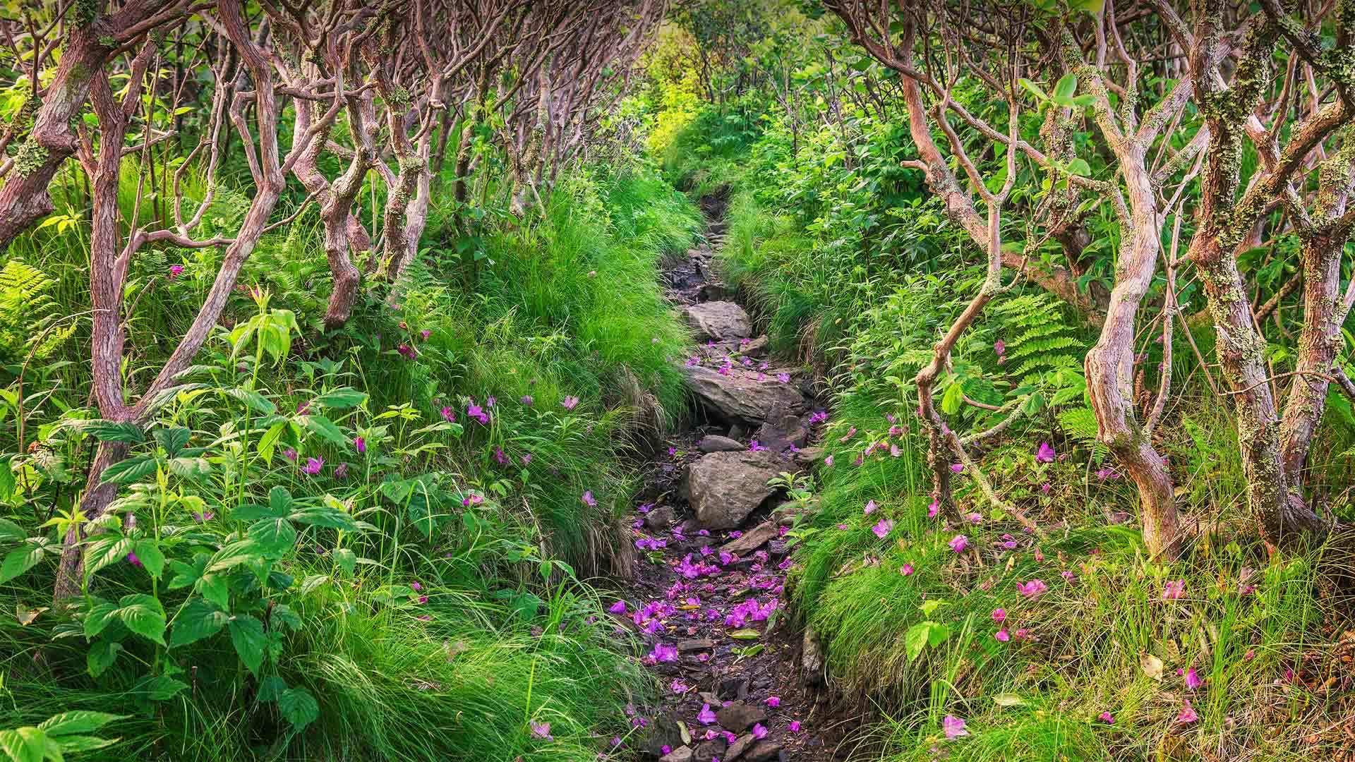 皮斯加国家森林飘落的杜鹃花瓣皮斯加国家森林