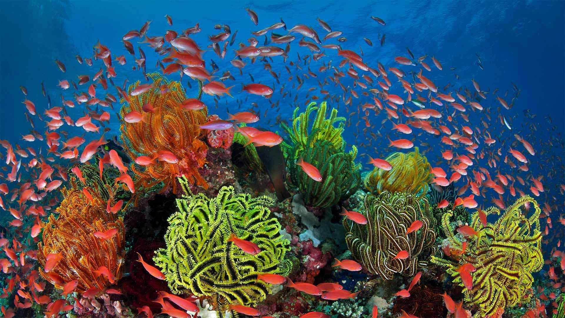 珊瑚礁周围的丝鳍拟花鮨鱼群丝鳍拟花鮨