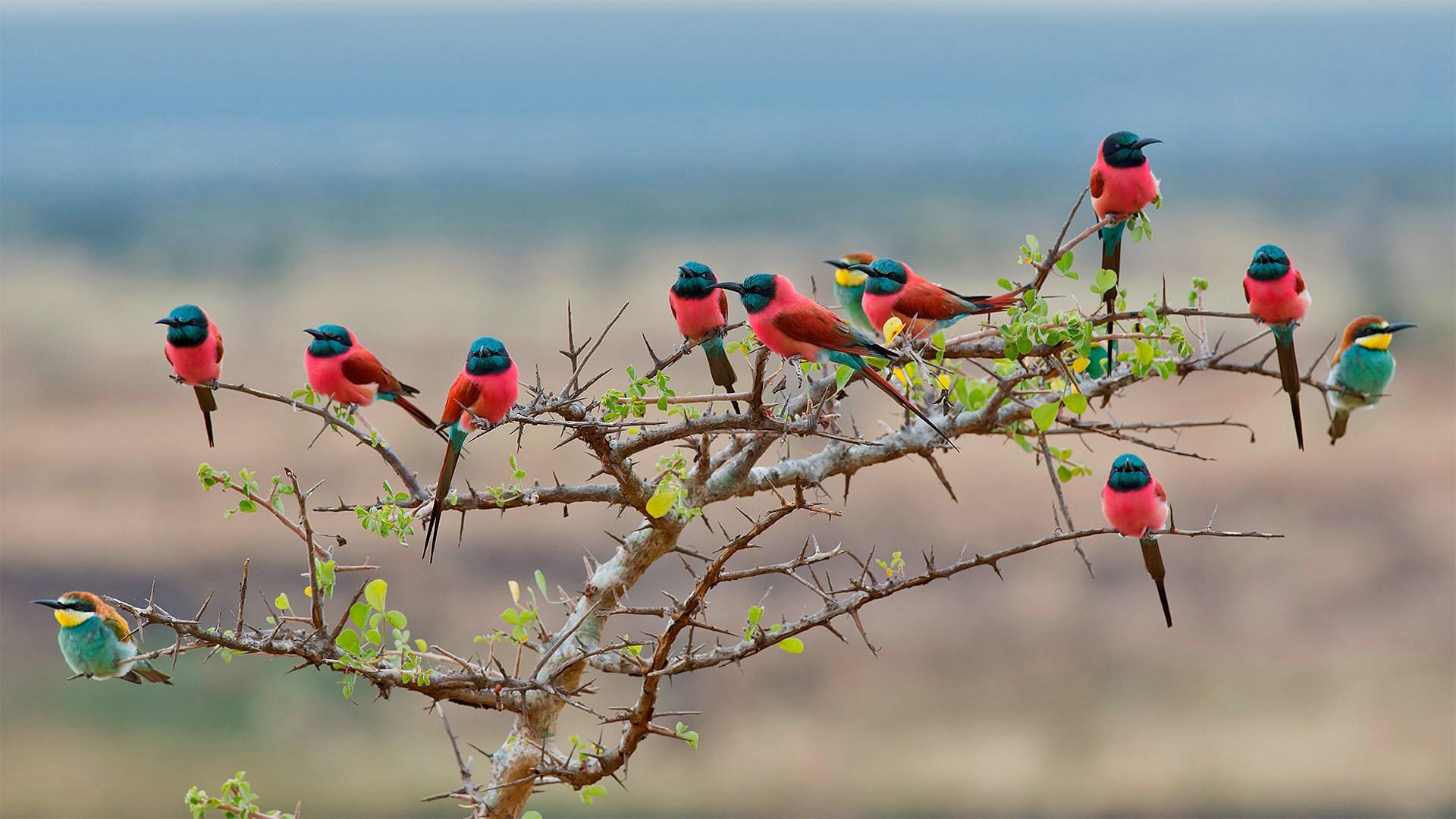 姆科马齐国家公园的北部胭脂红食蜂鸟和欧洲食蜂鸟姆科马齐国家公园