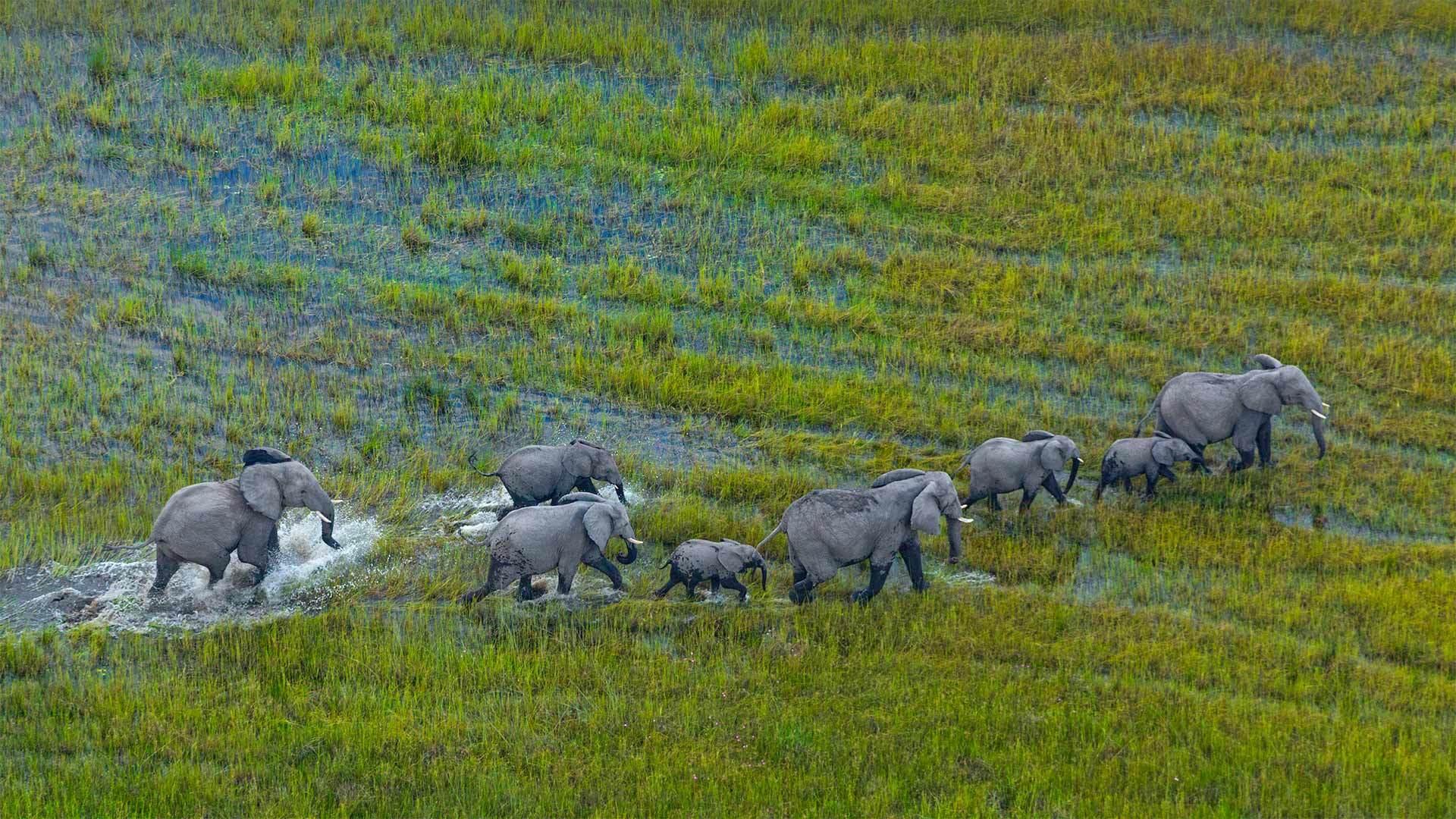 奥卡万戈三角洲上的非洲草原象群非洲草原象