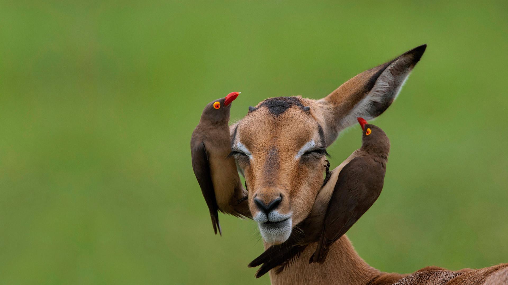 红嘴牛椋鸟和高角羚红嘴牛椋鸟
