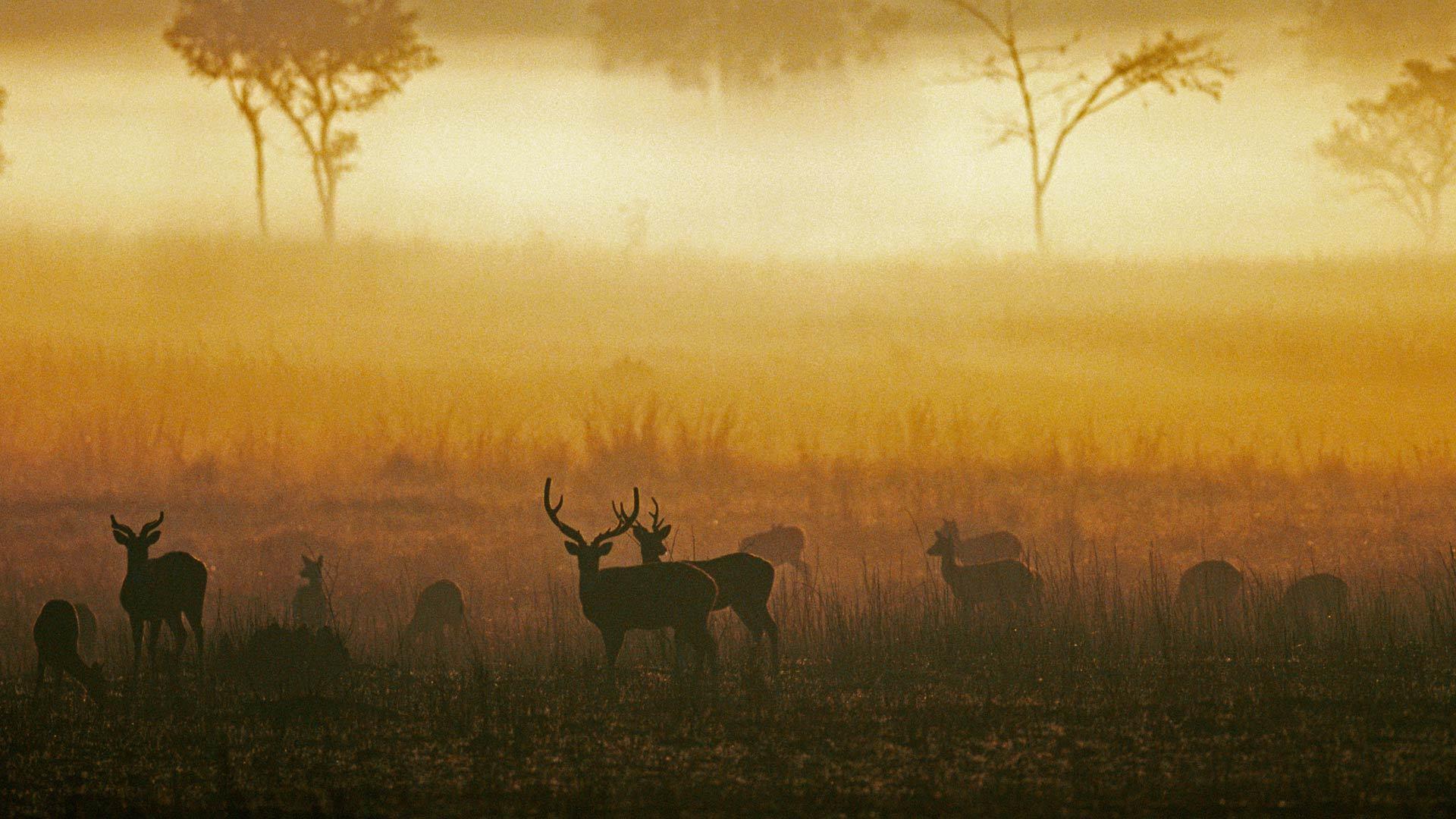 黎明时分薄雾草原上的白斑鹿