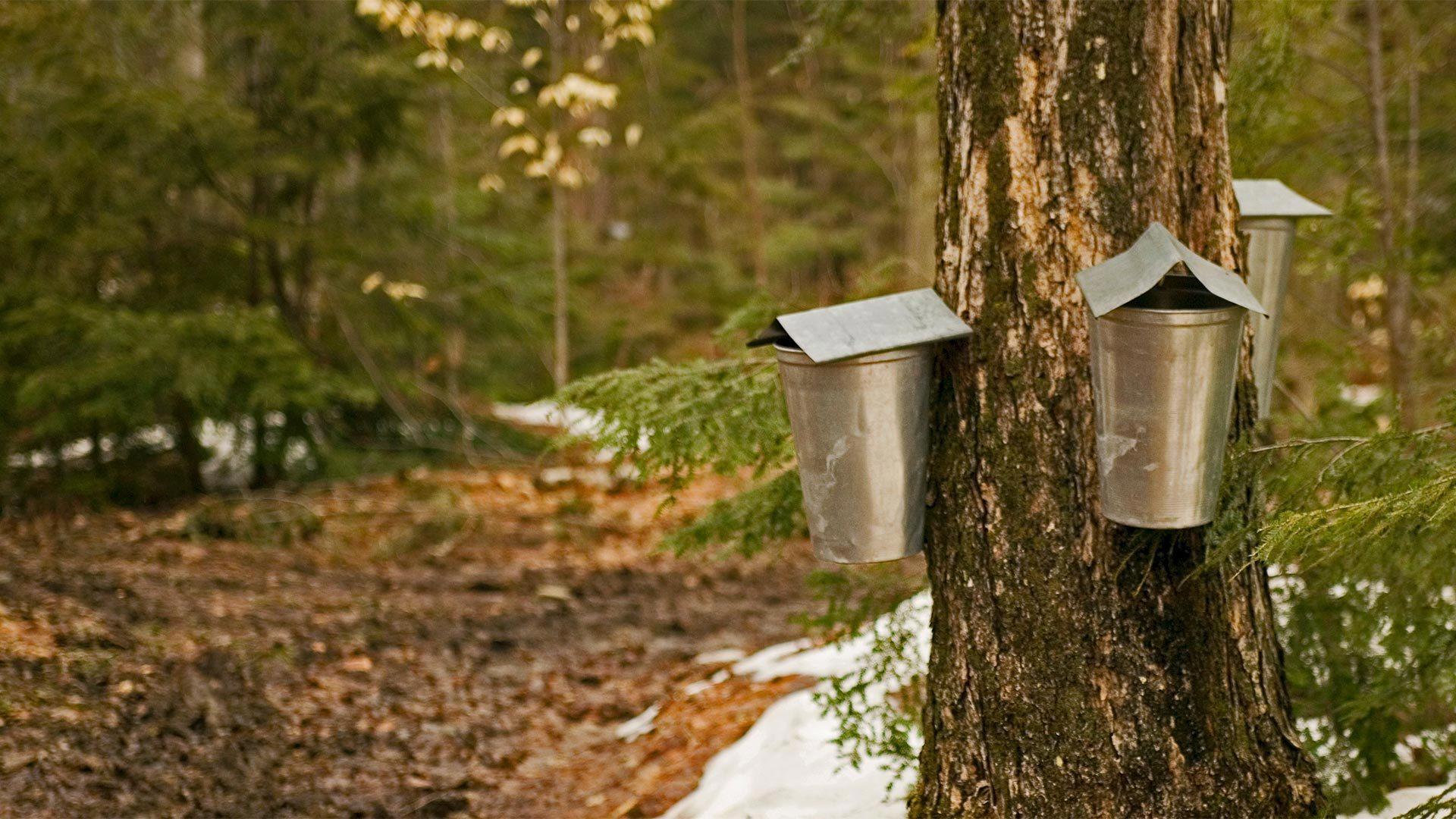Missisquoi的树汁收集桶
