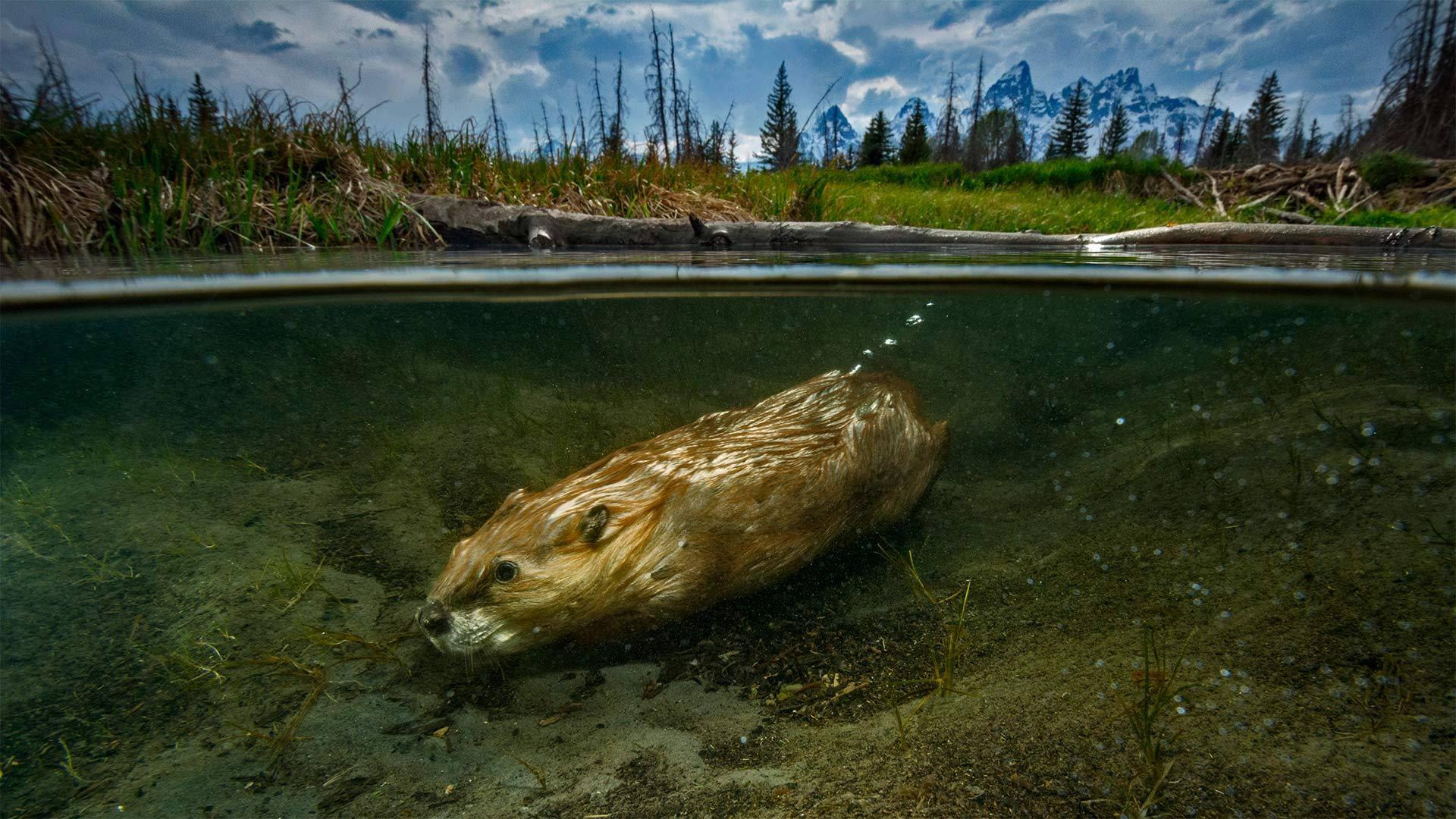 一只在大提顿国家公园里游泳的海狸