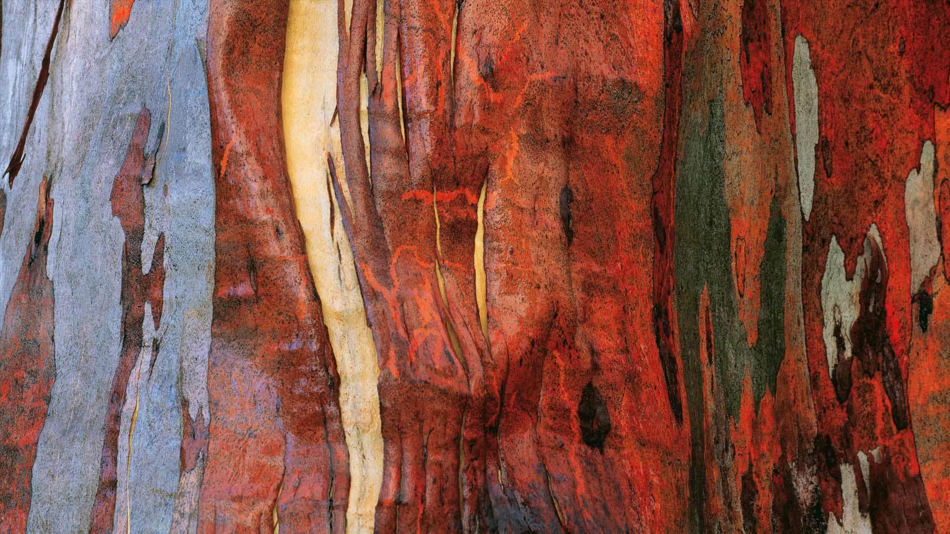高山桉树的树皮