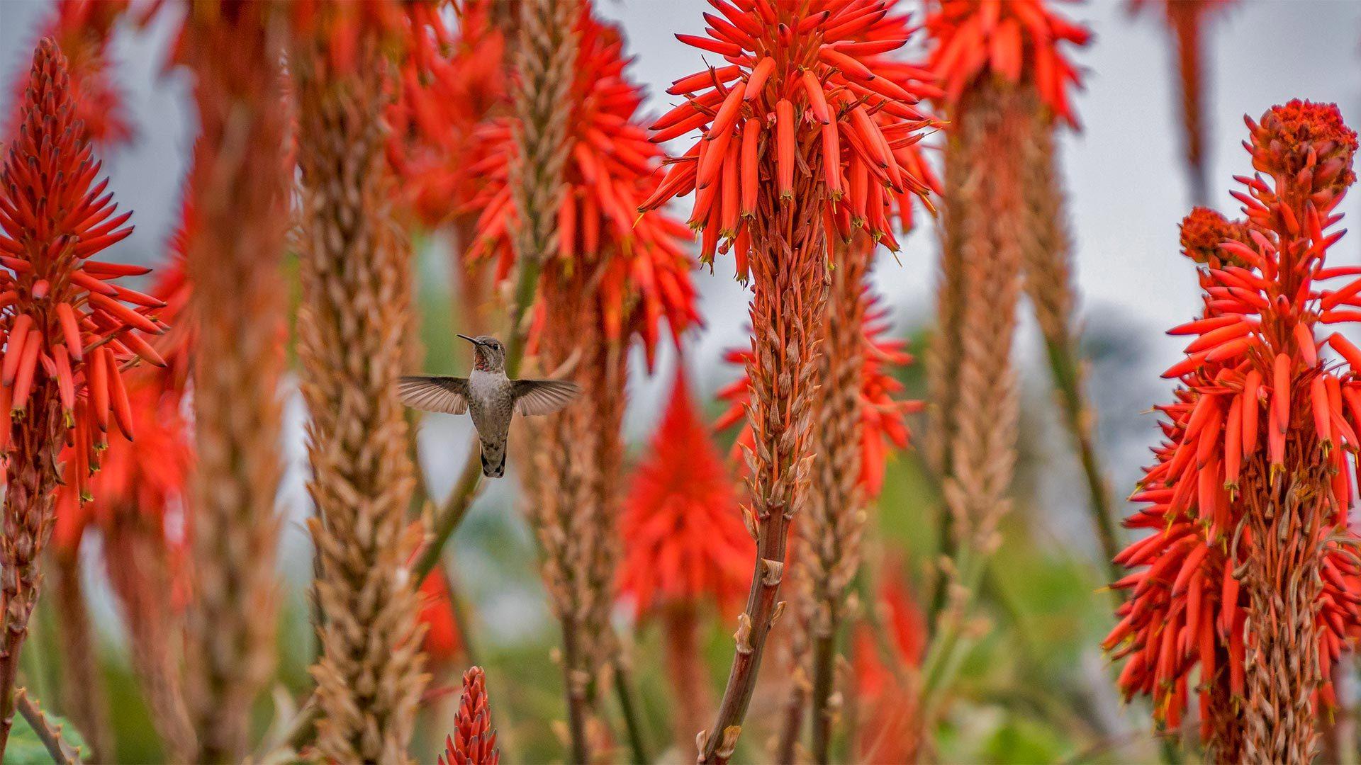 一只蜂鸟盘旋在盛开的芦荟花丛中
