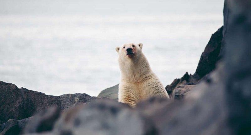 北极熊可能会为了生存用冰块攻击毫无戒心的海象插图