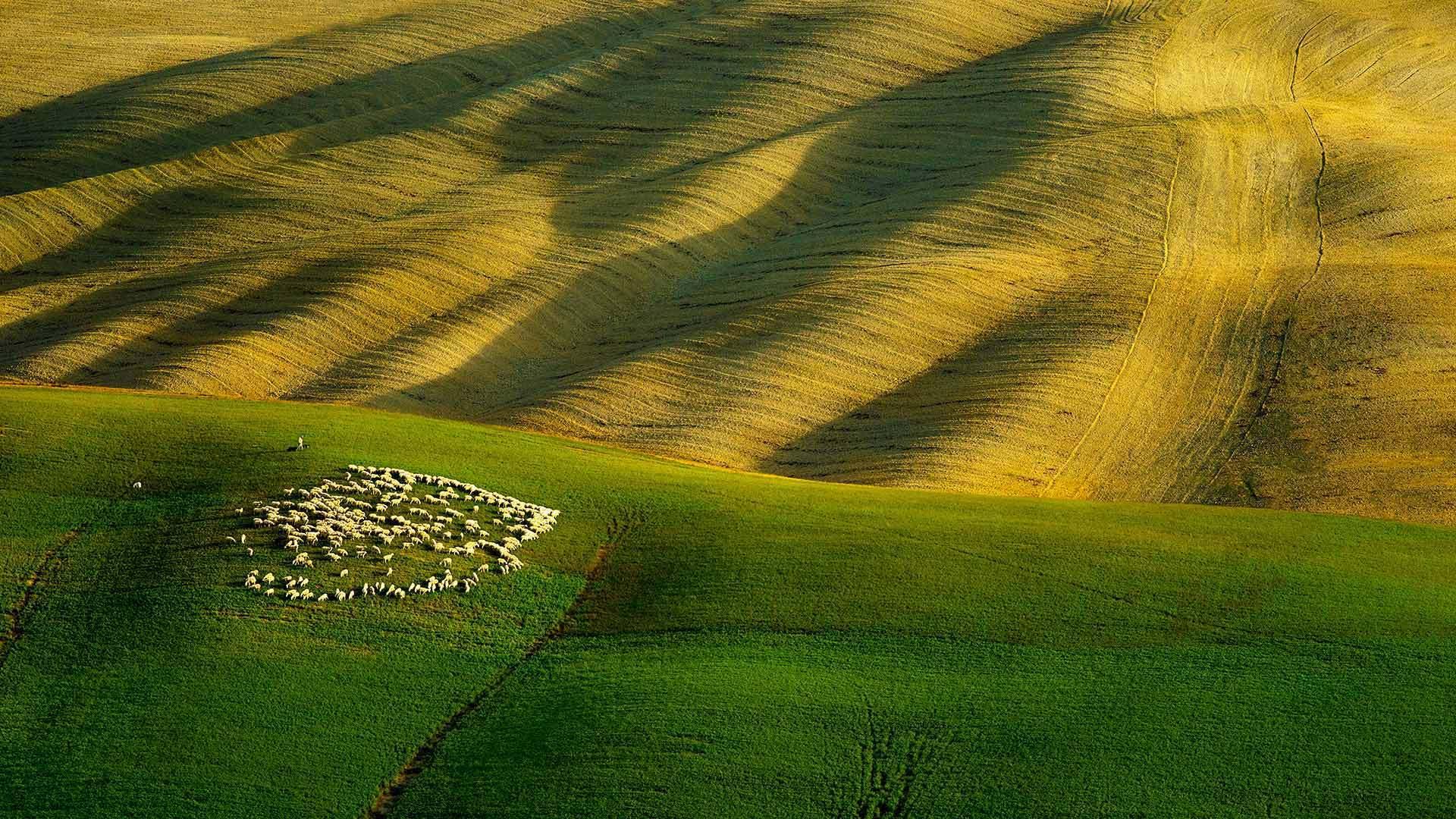 绿色幕布下的羊群