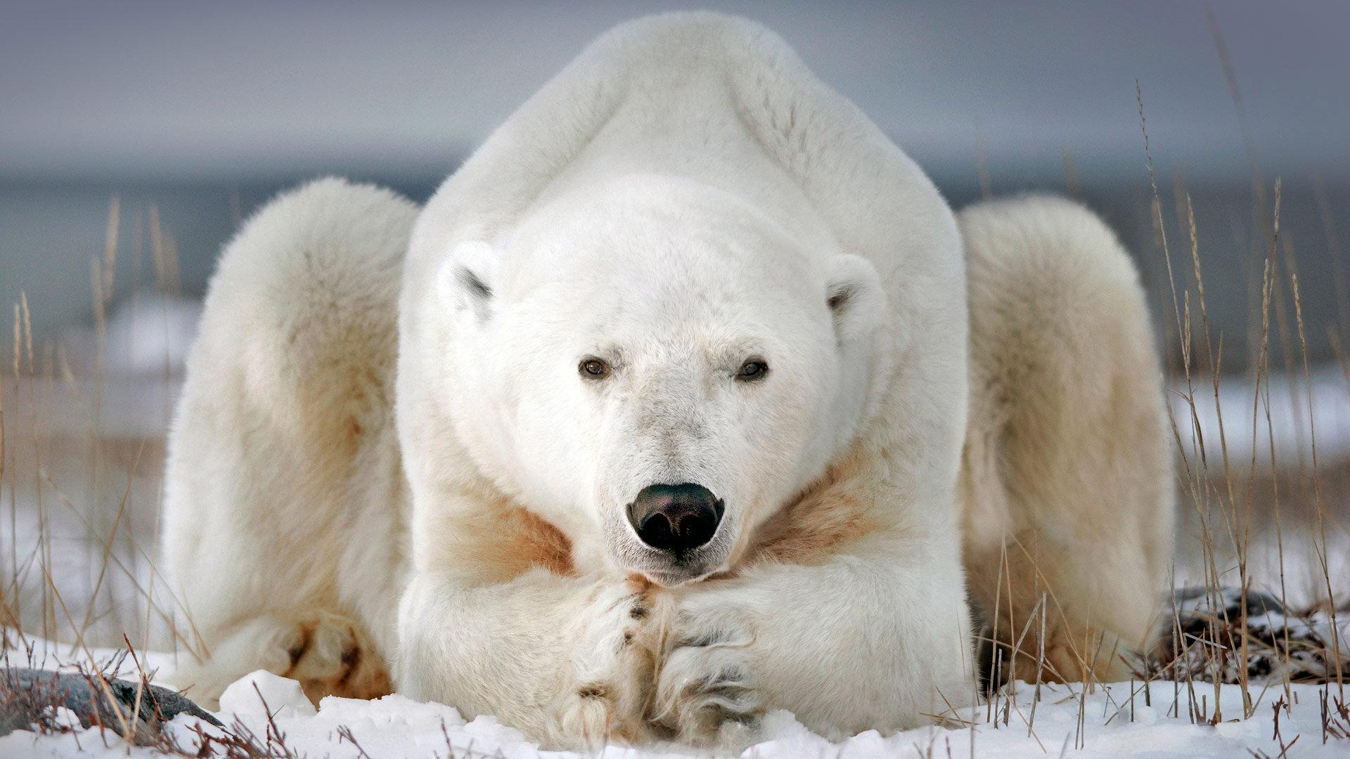 北极熊之都