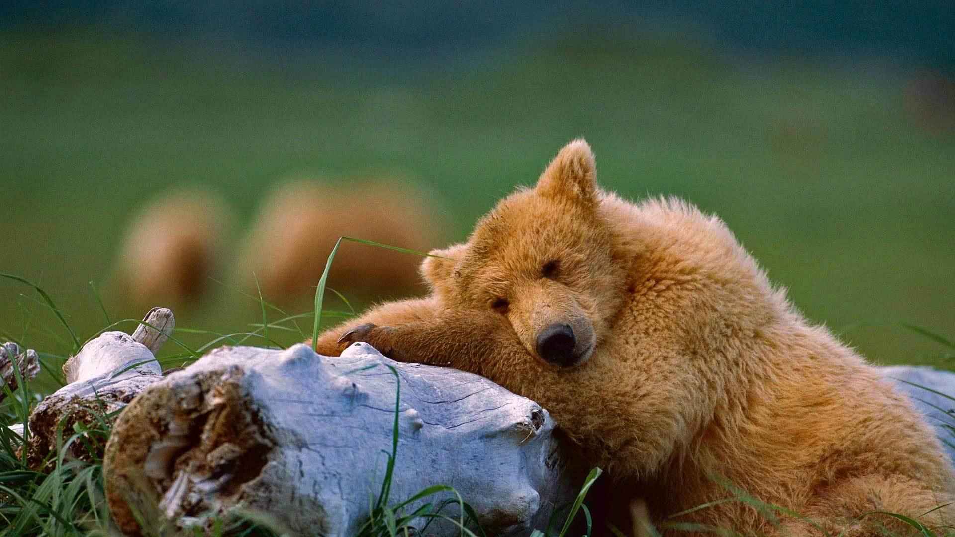 棕熊的故乡