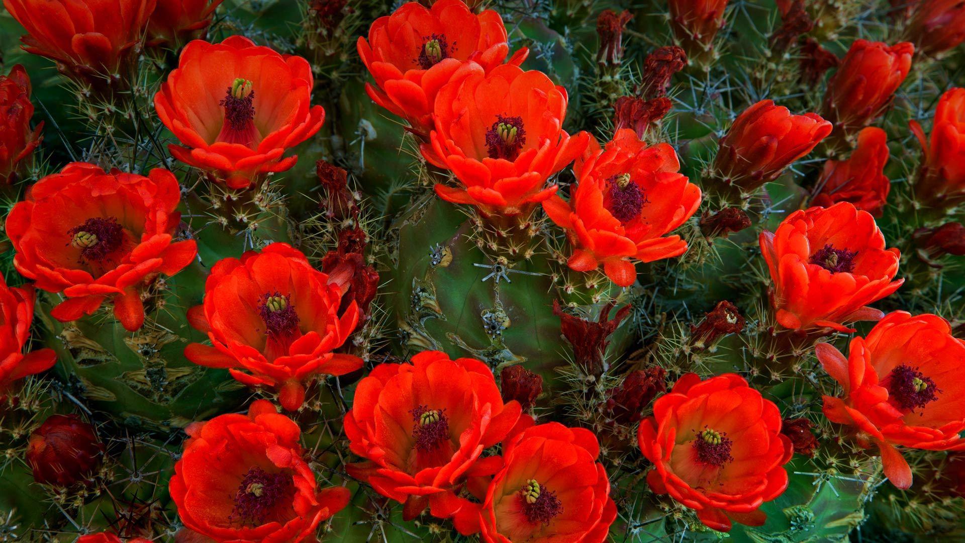 沙漠的英雄花