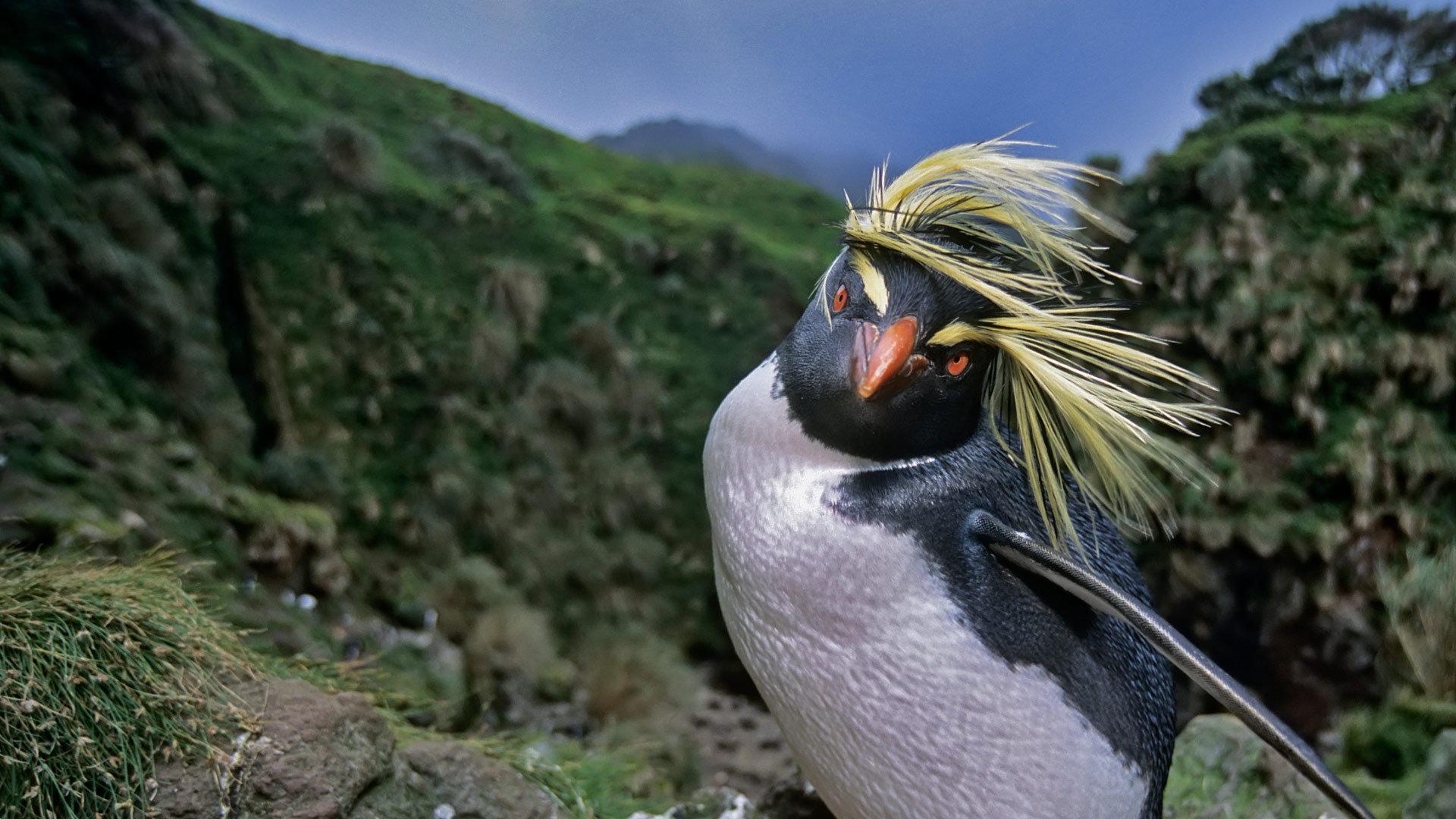 企鹅中的攀岩能手