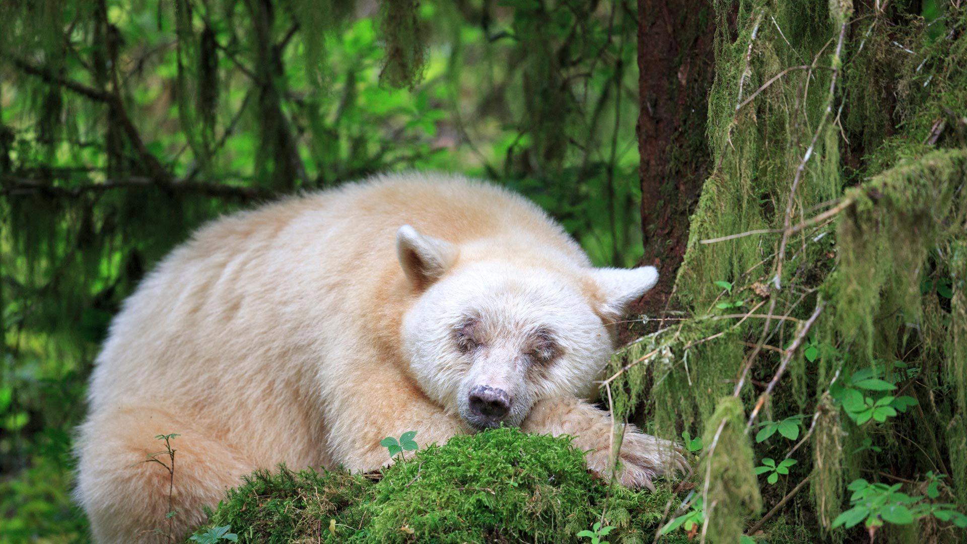 """沉睡的""""灵熊"""""""