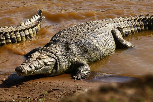 鳄鱼大哥,你非要在这里跟我犟起做啥子唉?